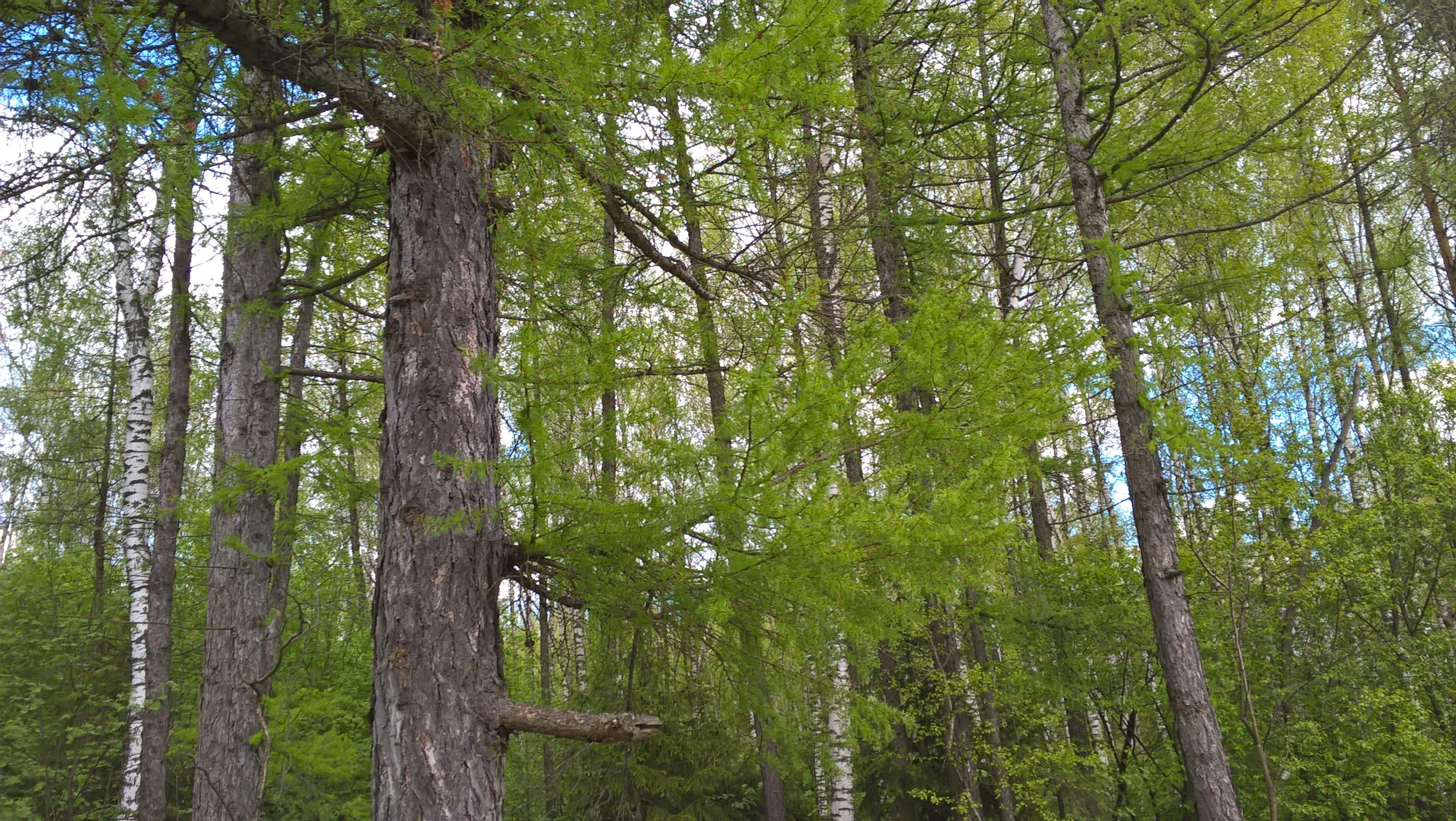Лес в ближнем Подмосковье на Красной Поляне